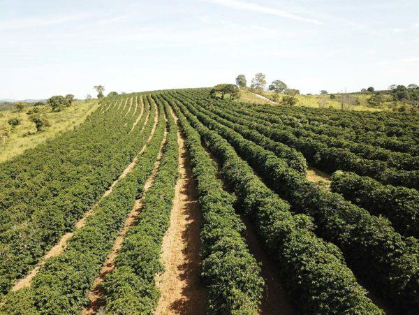 Catucai Red plantation