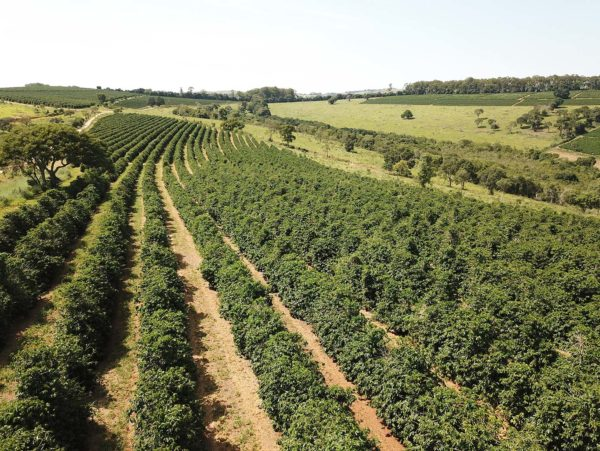 Peaberries plantations