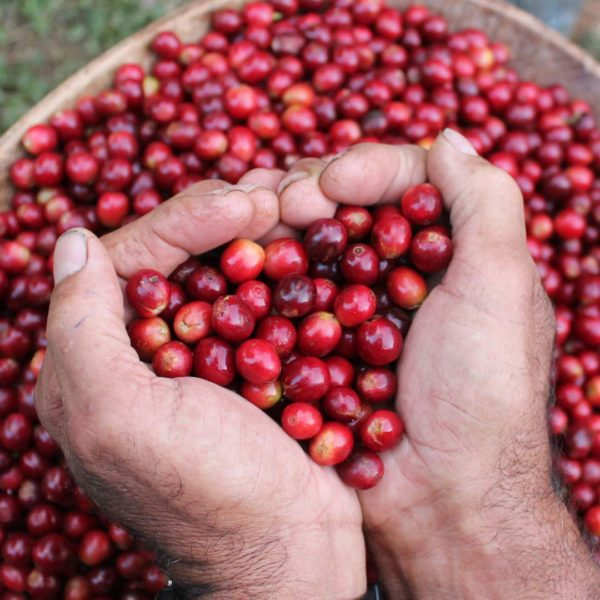 Red coffee cherries